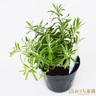 イングリッシュ ラベンダー / 苗 / ハーブ 野菜 / 9cm ポット
