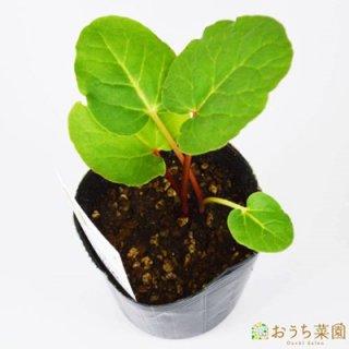 ルバーブ / 苗 / ハーブ 野菜 / 9cm ポット