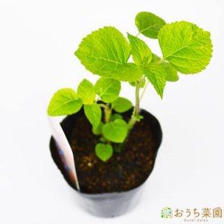 メドー セージ / 苗 / ハーブ 野菜 / 9cm ポット
