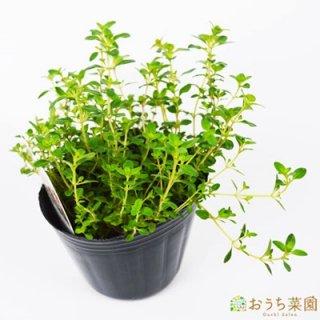 クリーピングタイム  / 苗 / ハーブ 野菜 / 9cm ポット
