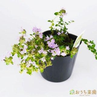 イブキジャコウソウ 和タイム / 苗 / ハーブ 野菜 / 9cm ポット
