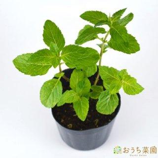 クール ミント / 苗 / ハーブ 野菜 / 9cm ポット