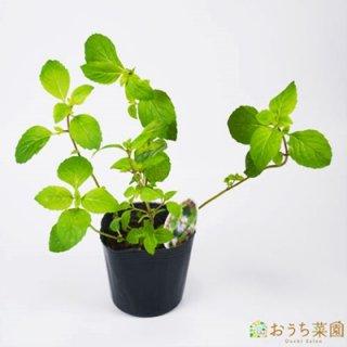 ジンジャー ミント / 苗 / ハーブ 野菜 / 9cm ポット