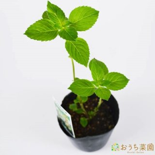 バナナミント / 苗 / ハーブ 野菜 / 9cm ポット
