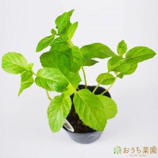 ラベンダーミント / 苗 / ハーブ 野菜 / 9cm ポット