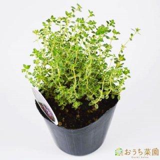 シルバーレモンタイム / 苗 / ハーブ 野菜 / 9cm ポット