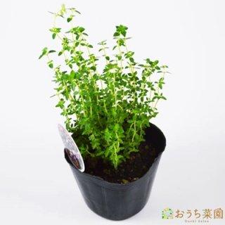 ポット タイム / 苗 / ハーブ 野菜 / 9cm ポット