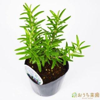 ローズマリー レックス / 苗 / ハーブ 野菜 / 9cm ポット