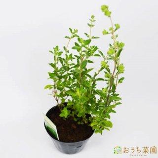 スイートマジョラム / 苗 / ハーブ 野菜 / 9cm ポット