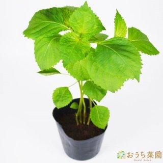 シソ 青 / 苗 / ハーブ 野菜 / 9cm ポット