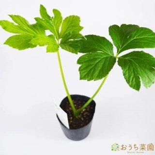 アシタバ / 苗 / ハーブ 野菜 / 9cm ポット