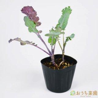 ケール / 苗 / ハーブ 野菜 / 9cm ポット