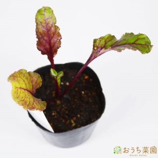 ビーツ ビートルート / 苗 / ハーブ 野菜 / 9cm ポット