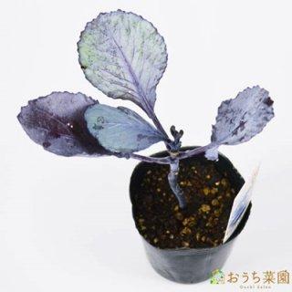 レッドエーカー キャベツ / 苗 / ハーブ 野菜 / 9cm ポット