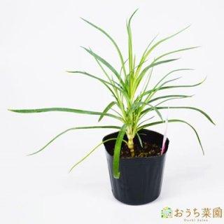 クローブ ピンク / 苗 / ハーブ 野菜 / 9cm ポット