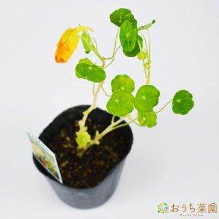 ナスタチウム ゴールド / ナスタチューム / 苗 / ハーブ 野菜 / 9cm ポット