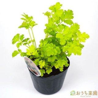 フィーバーヒュー ナツシロギク / 苗 / ハーブ 野菜 / 9cm ポット
