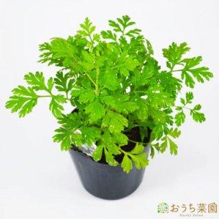 フィーバーヒュー ゴールド / 苗 / ハーブ 野菜 / 9cm ポット