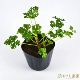 ムスク マロウ / 苗 / ハーブ 野菜 / 9cm ポット