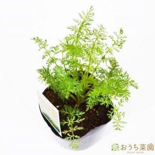 キャラウェイ / 苗 / ハーブ 野菜 / 9cm ポット