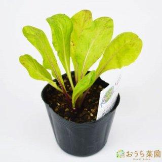 レッドチコリ / 苗 / ハーブ 野菜 / 9cm ポット