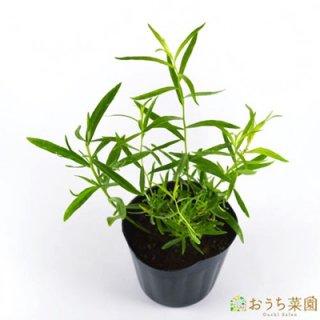 フレンチタラゴン / 苗 / ハーブ 野菜 / 9cm ポット