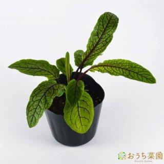 ルメックス / レッドソレル / 苗 / ハーブ 野菜 / 9cm ポット