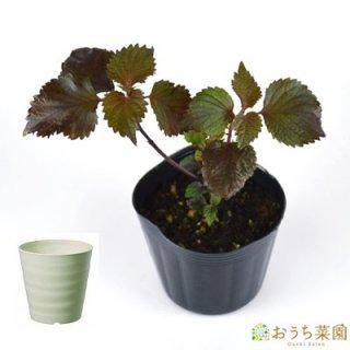 赤 シソ 栽培 セット / ハーブ / 軽量 プラスチック 鉢 プランター