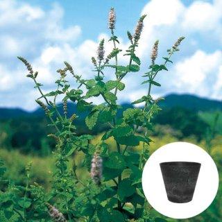 アップルミント 栽培 セット / ハーブ / アートストーン 鉢 プランター / 貯水機能 付