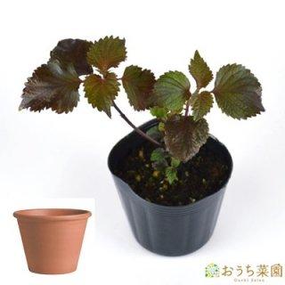 赤 シソ 栽培 セット / ハーブ  / テラコッタ 鉢 プランター / 鉢受皿 付