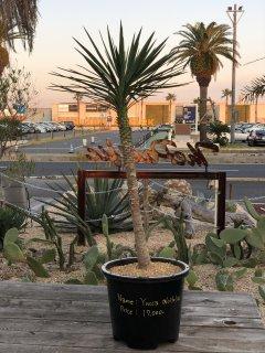 Yucca aloifolia | ユッカ アロイフォリア(センジュラン)� 約107cmの商品画像