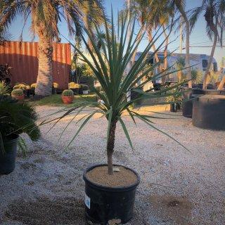 Cordyline australis|コルジリネ オーストラリス(ニオイシュロラン)の商品画像