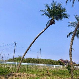 フェニックス ロベレニー 幹丈3.6m �|1年間枯木保証付の商品画像