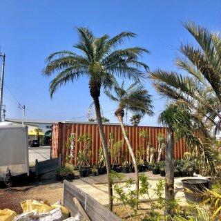 フェニックス ロベレニー 幹丈3.6m|1年間枯木保証付の商品画像