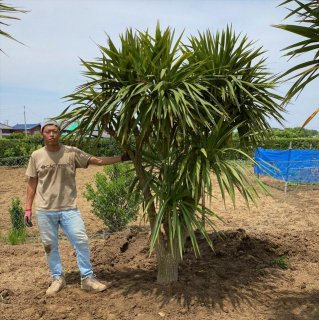 <img class='new_mark_img1' src='//img.shop-pro.jp/img/new/icons15.gif' style='border:none;display:inline;margin:0px;padding:0px;width:auto;' />Cordyline australis �|コルジリネ オーストラリス(ニオイシュロラン)|50�圏内配送無料・植込み込・1年間枯木保証付