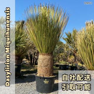 ダシリリオン・ミキワネンシス DM01(1年枯木保証付)の商品画像