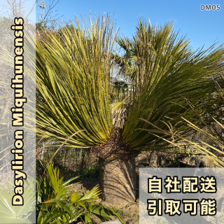 ダシリリオン・ミキワネンシス ダブルヘッド DM05(1年枯木保証付)の商品画像