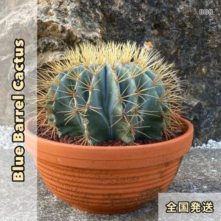 ブルー バレル カクタス 20cm前後(王冠竜)|BB20の商品画像