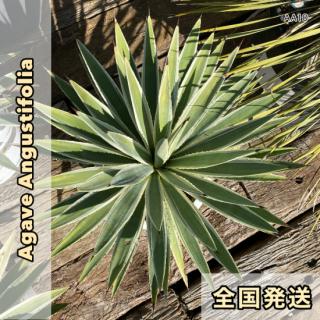 アガベ・アングティフォリア|10号Pot(30cm)|AA10の商品画像