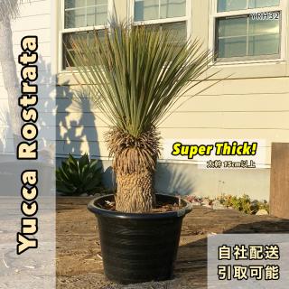 [幹太]ユッカ・ロストラータ スーパーシック(ミドルカット仕上げ)|YRH32の商品画像