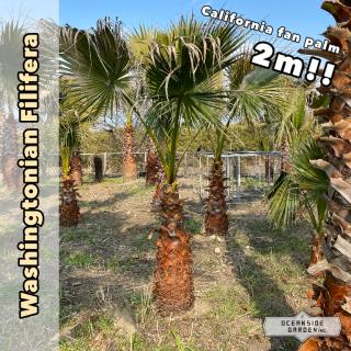 カリフォルニア ファンパーム/ワシントヤシ・フィリフェラ 2m(1年枯木保証付)WF02の商品画像