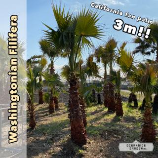 カリフォルニア ファンパーム/ワシントヤシ・フィリフェラ 3m(1年枯木保証付)WF03の商品画像
