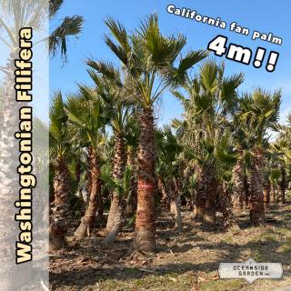 カリフォルニア ファンパーム/ワシントヤシ・フィリフェラ 4m(1年枯木保証付)WF04の商品画像