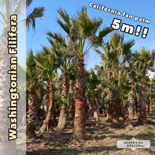 カリフォルニア ファンパーム/ワシントヤシ・フィリフェラ 5m(1年枯木保証付)WF05の商品画像