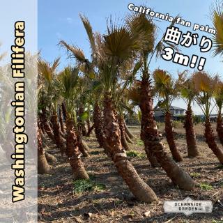 曲がり!!カリフォルニア ファンパーム/ワシントヤシ・フィリフェラ 3m(1年枯木保証付)WFM03の商品画像