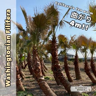 曲がり!!カリフォルニア ファンパーム/ワシントヤシ・フィリフェラ 4m(1年枯木保証付)WFM04の商品画像