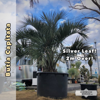 ココスヤシ(ブラジルヤシ) 2.2m(1年間枯木保証付)BP02の商品画像