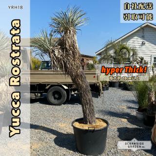 [超幹太]ユッカ・ロストラータ ハイパーシック ダブルヘッド(ロングヘアー)|YRH18の商品画像