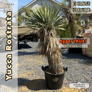 [超幹太]ユッカ・ロストラータ ハイパーシック(ロングヘアー)|YRH43の商品画像