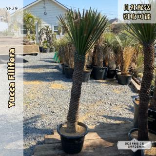 ユッカ・フィリフェラ 1.7m|YF29(1年枯木保証付)の商品画像